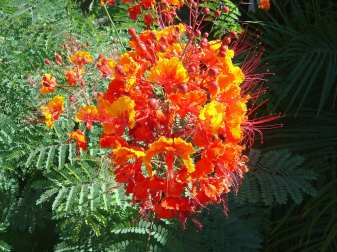 Tucson flowering bush Pride of Barbados