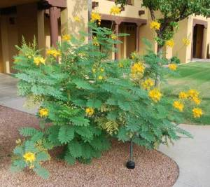 Caesalpinia mexicana yellow flowers