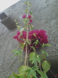 do bougainvilleas grow in containers