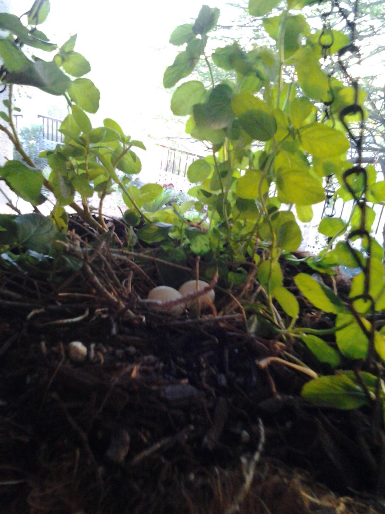 dove bird nest two eggs
