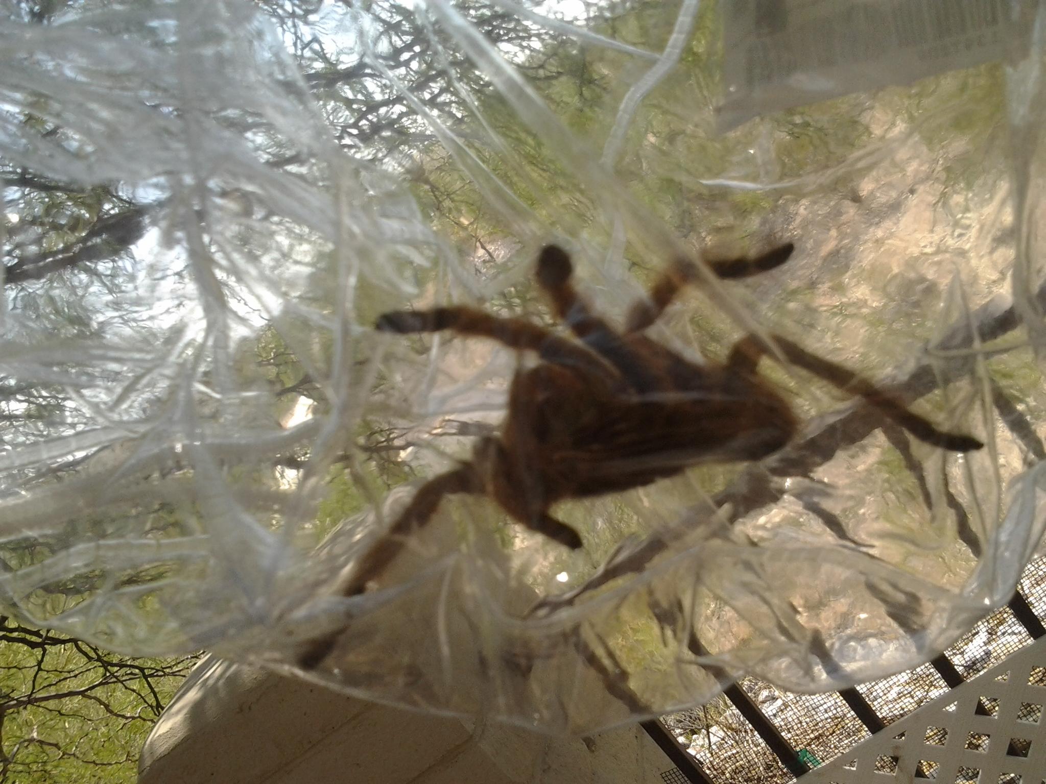 Arizona Blond Tarantula hairy spider