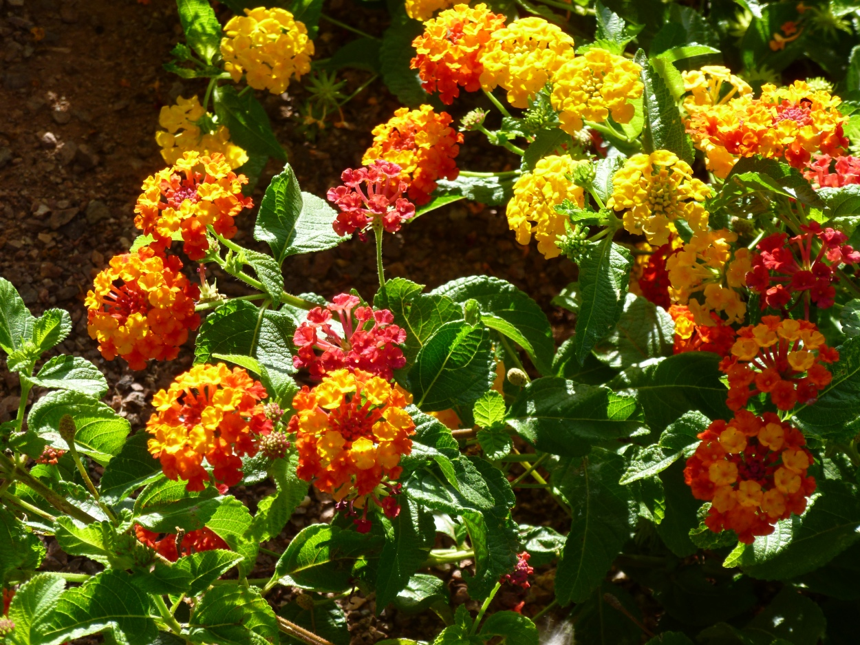 New Gold and Texas Flame Lantana