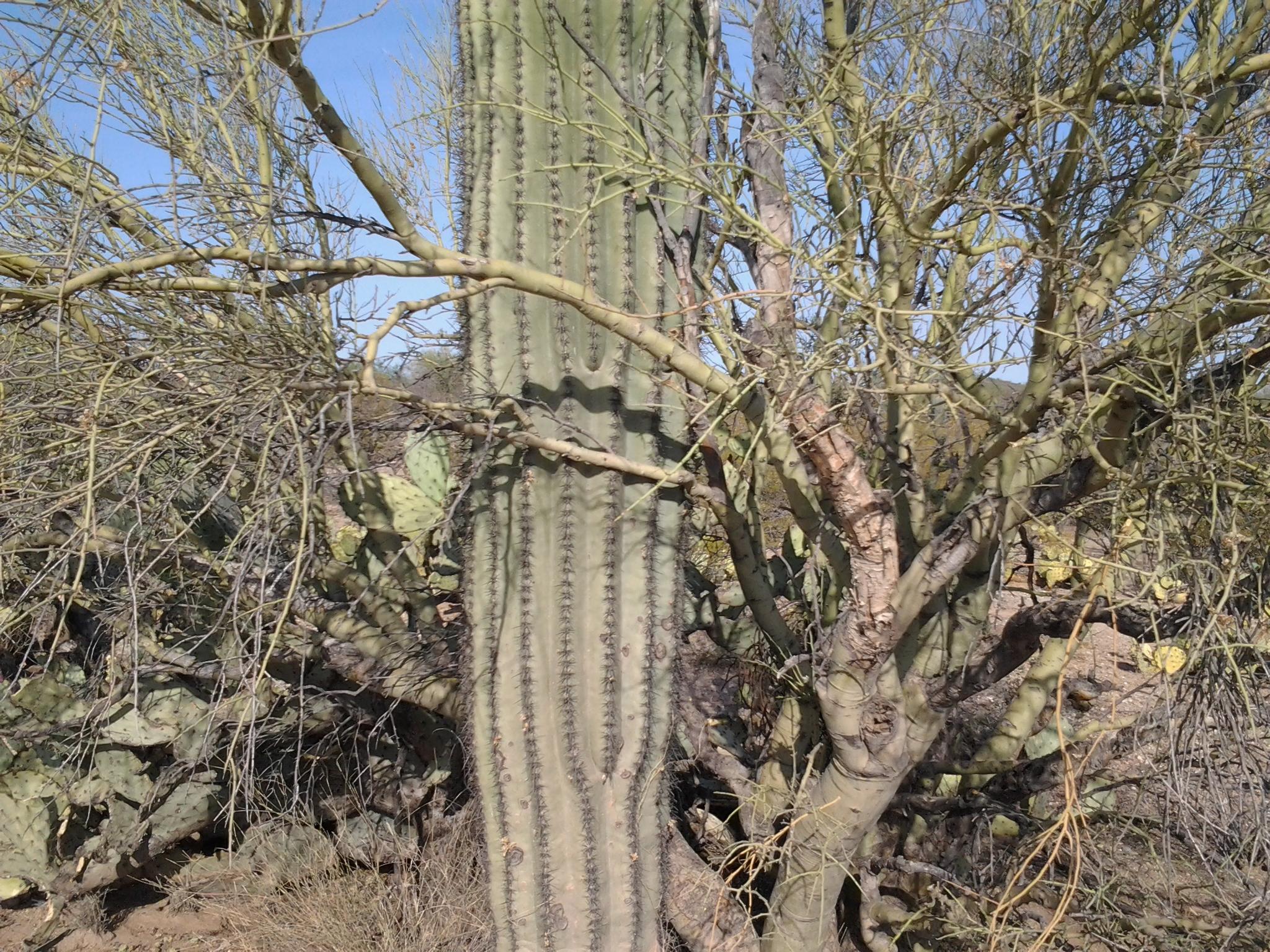 how to eat saguaro cactus fruit