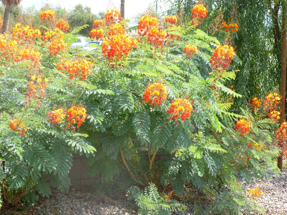Orange flowers on Red Bird of Paradise Shrub