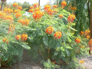 Orange yellow flowers on Red Bird of Paradise Shrub