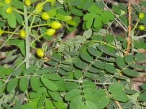 shrub with yellow flowers and round leaves