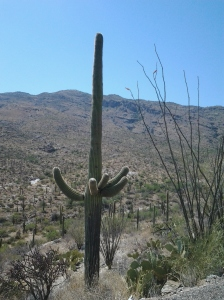Arizona Saguaro Giant Cactus