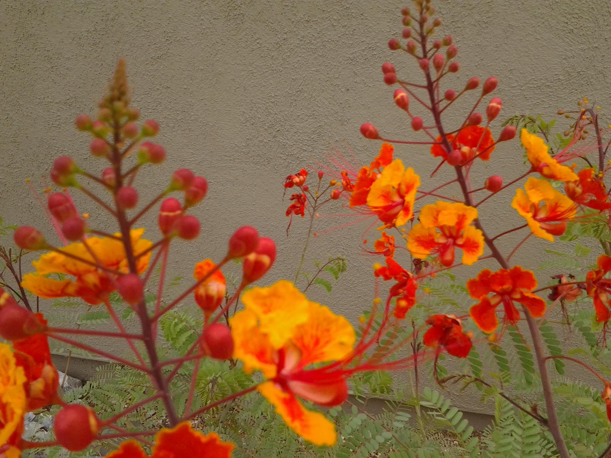 desert shrubs u2013 caesalpinia pulcherrima u2013 tjs garden