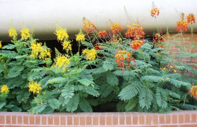 orange red yellow flowering shrubs