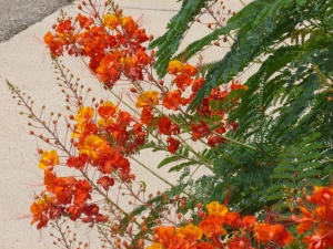 arizona bushes with red orange flowers fern leaves