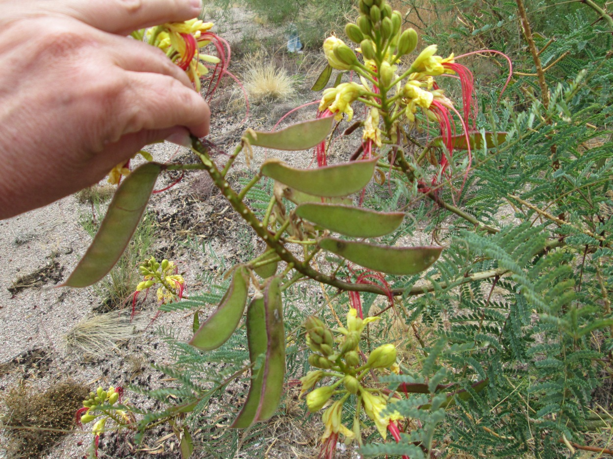 desert bush with yellow flowers and bean pods