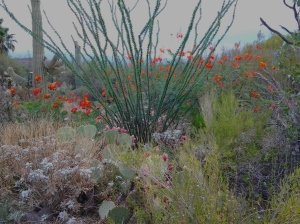 Ocotillo cactus and Red Bird of Paradise landscaping.