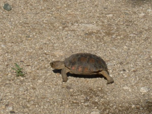 arizona young tortoise hatchling