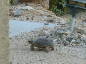 Tucson baby desert tortoise turtle