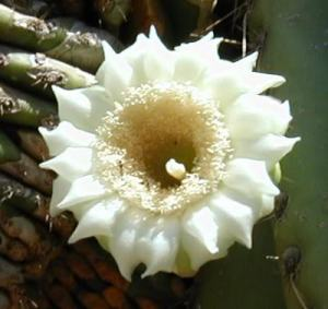 white flower on cactus arizona
