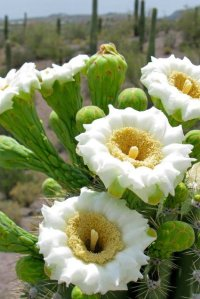 white flowers on saguaro cactus arizona