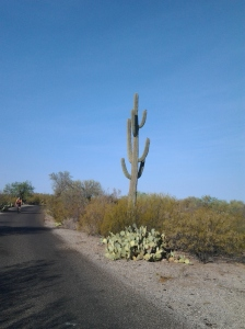 200 year old tall saguaro cactus