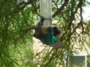 arizona desert dove at bird feeder