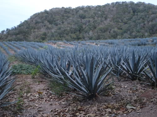 cactus plant for making tequila