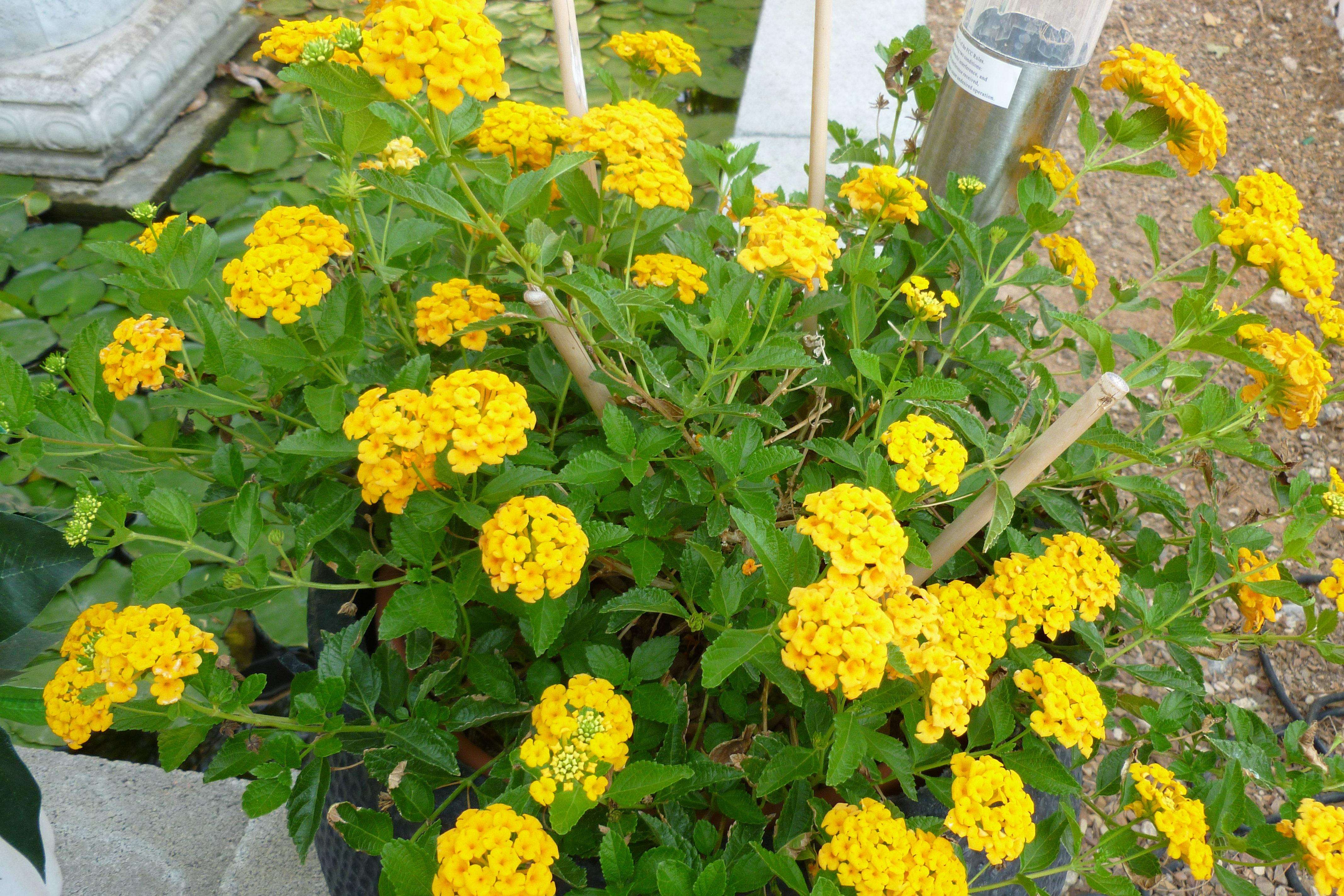 Picture of Live Trailing Yellow Lantana aka Lantana 'New Gold' Plant Fit 1 Gallon Pot