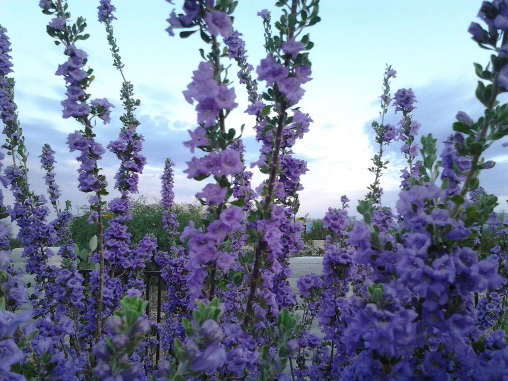 Flowering Texas Ranger Shrub (Texas Sage Bush) in our yard. Gorgeous Purple!