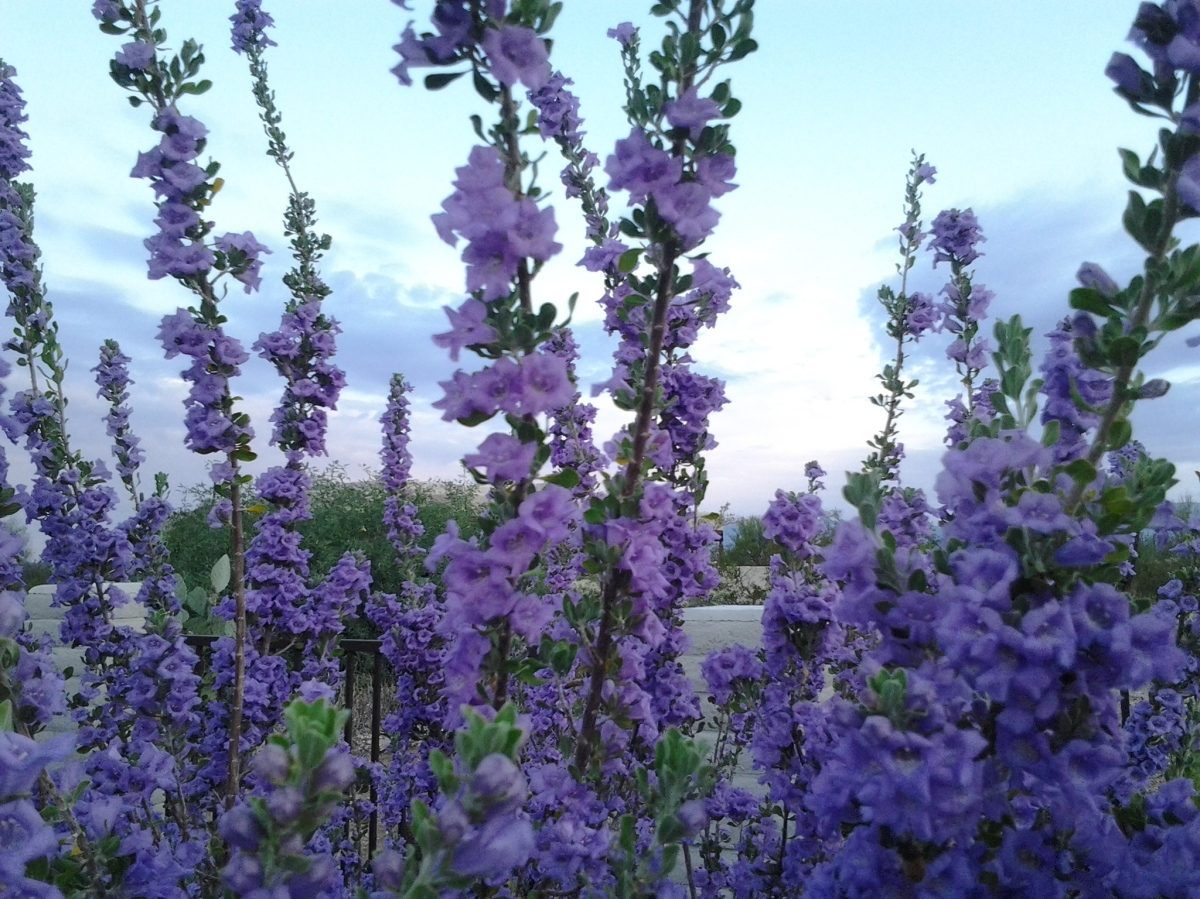 The Texas Ranger Sage shrub – bushes with purple or white flowers