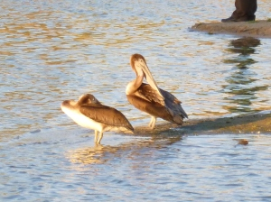 pelicans blown off course in Arizona