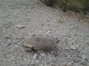 Arizona Desert Tortoise turtle