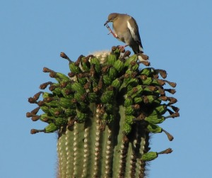 saguaro cactus with bird pollinating