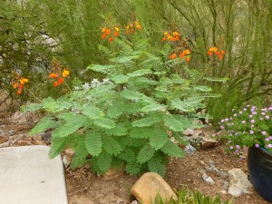 Tucson Phoenix orange flower bushes