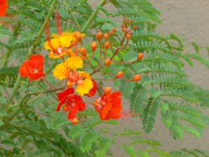 sometimes called the Mexican Bird of Paradise bush
