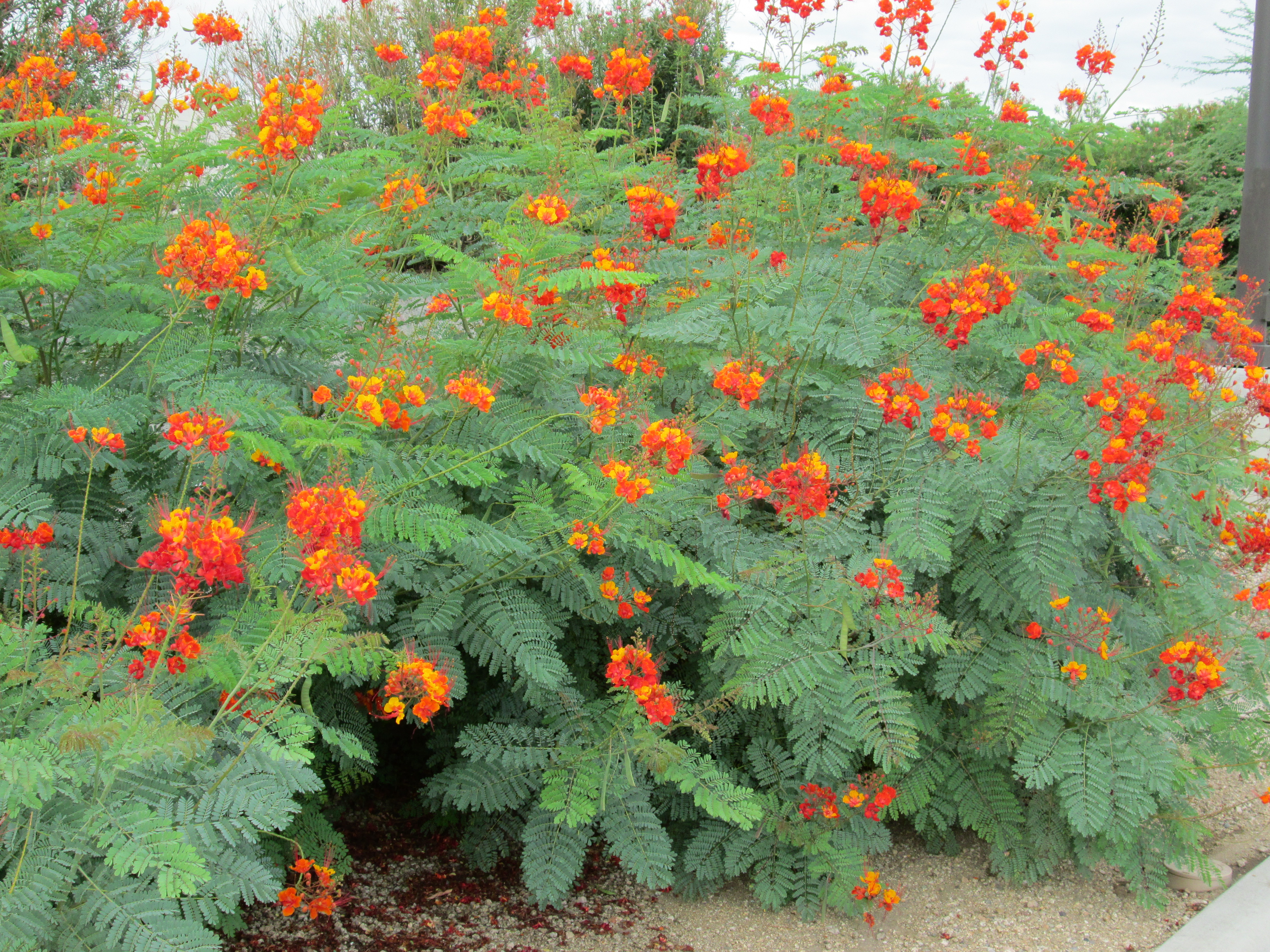 Bushes with red orange and yellow flowers in arizona red bird of red bird of paradise orange flowering mightylinksfo