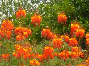 Pride of Barbados, flowering bush