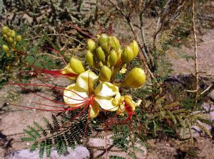 Caesalpinia gilliesii mistaken for Mexican Bird of Paradise