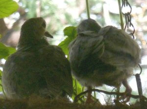 mourning dove babies