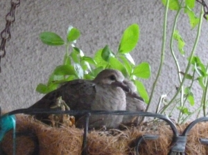 mourning dove hatchling babies