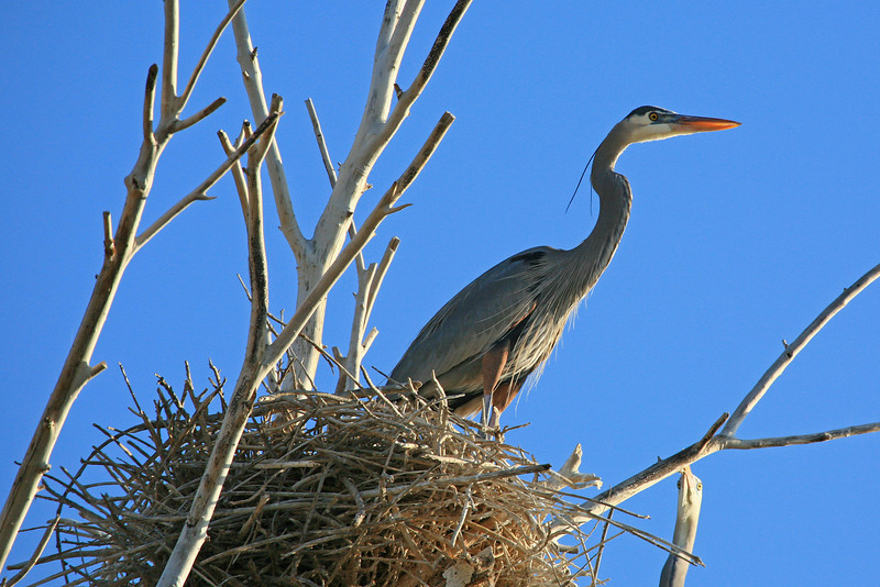 Great Blue Heron in a nest of sticks