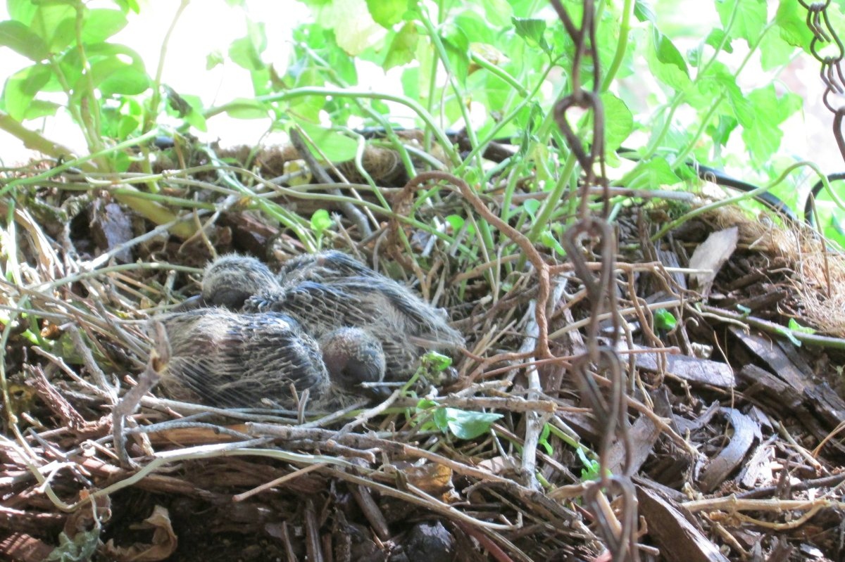 Mourning Dove eggs are hatching, dove eggs incubation period, feeding baby doves – Part 1