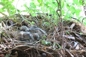 baby dove chicks hatched eggs