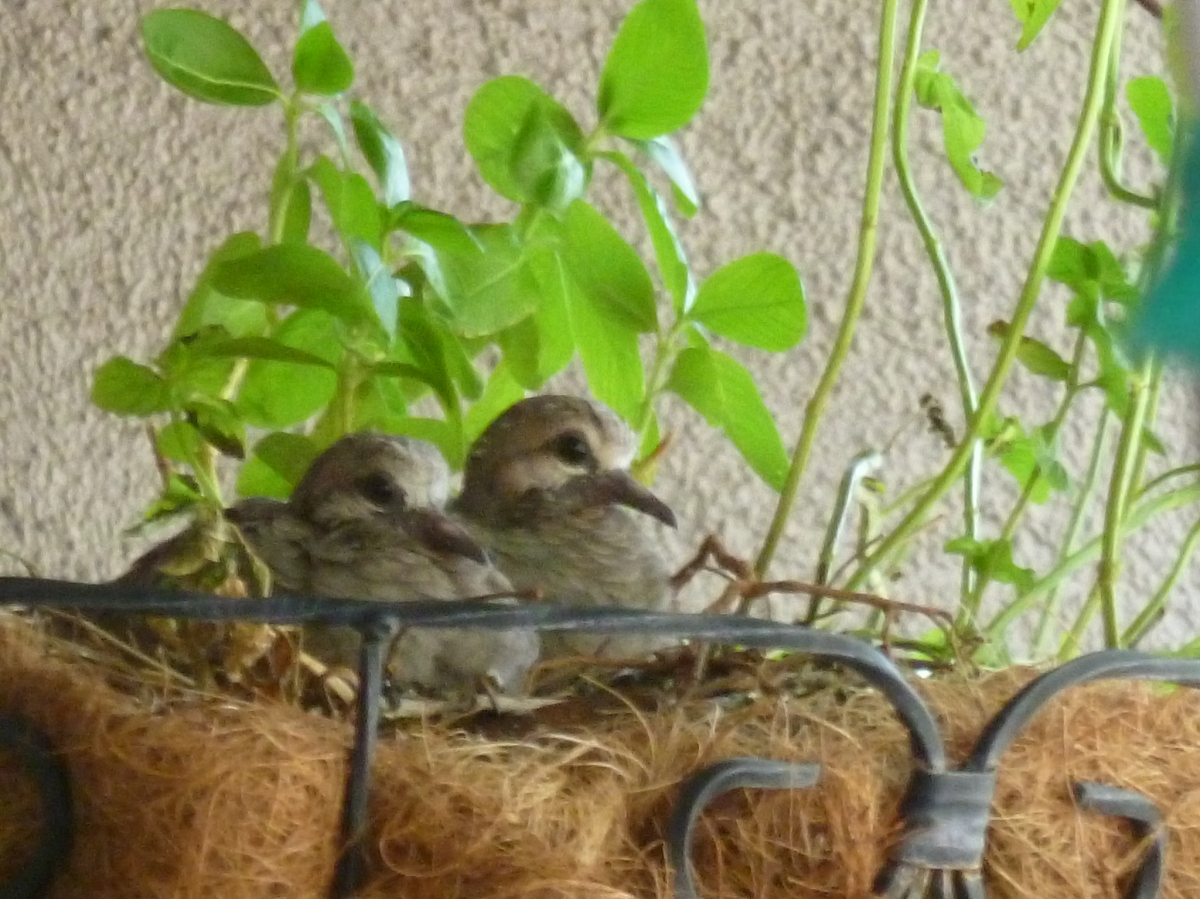 Baby mourning doves update – squabs are 10 days old – Part 3