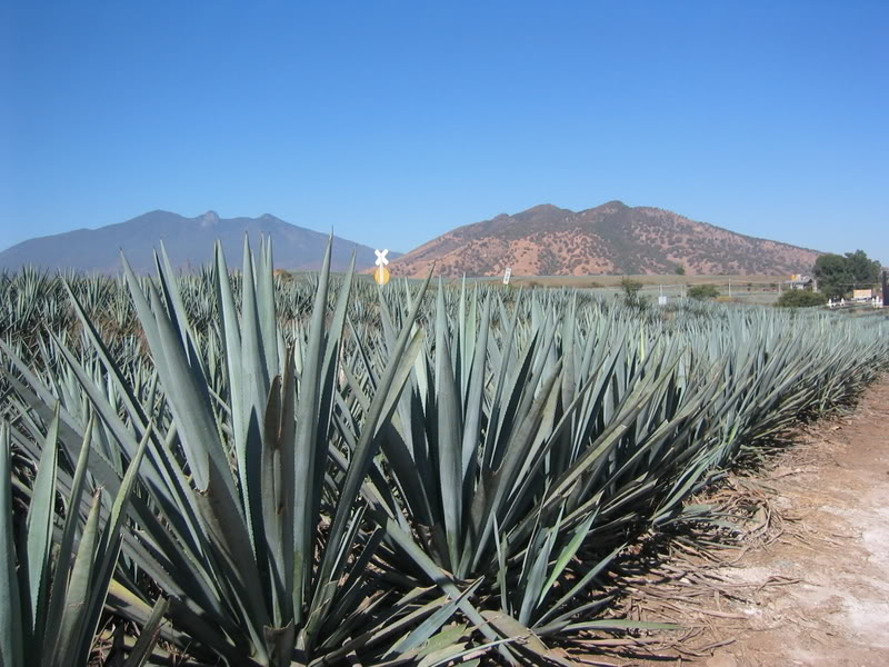Blue Agave Tequila Plant agave cactus used for tequila