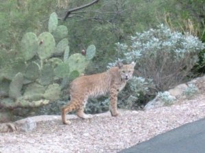 Arizona Bobcat wildlife