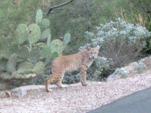 Arizona Bobcat wildlife
