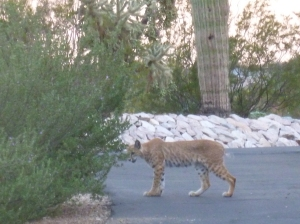 male bobcat lynx in arizona