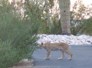 male bobcat lynx in arizona