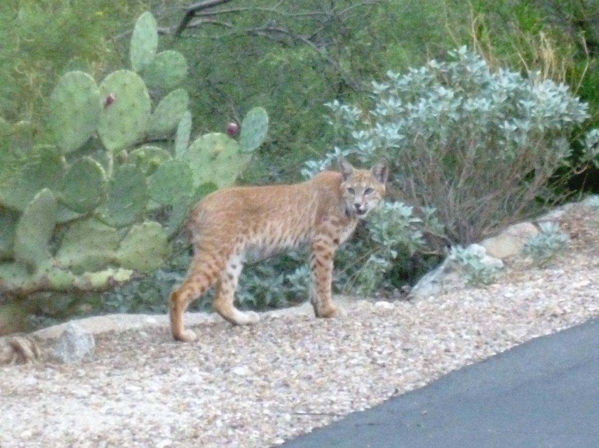 "Bobcat lynx in Arizona - facts of the mammal ""lynx rufus"""