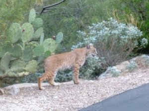 tucson arizona bobcat animal