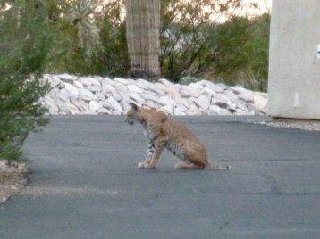 bobcat mammal male cat hunting