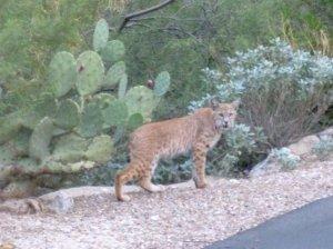 bobcat wildcat in tucson