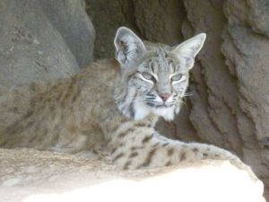 bobcat species